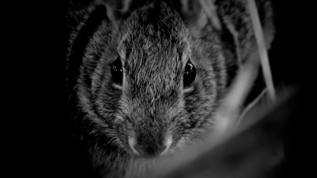 Rabbit-Eastern-Cottontail_Credit-J.Wright