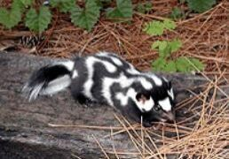 Eastern Spotted Skunk National Park Service image