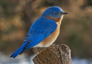 Preparing Bluebird Boxes for Spring
