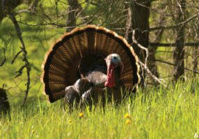 wild turkey on public lands