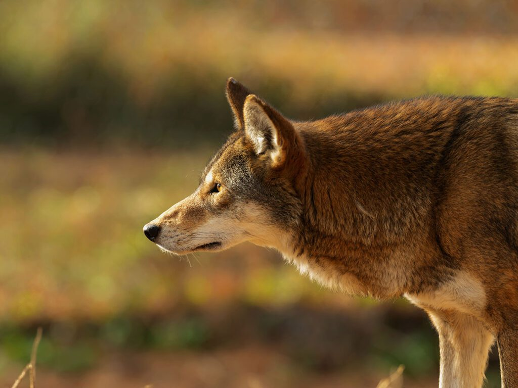 North Carolina Red Wolf